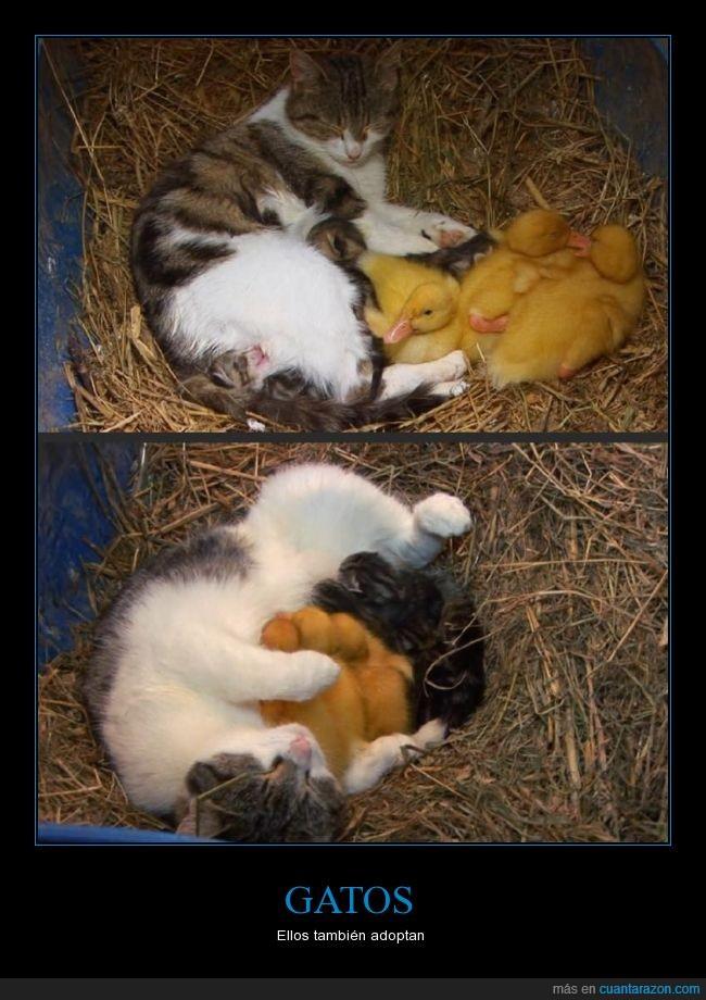 abrazar,adoptar,cuidar,Gato,patitos,pato