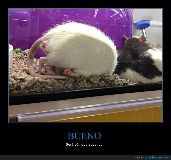 bebedero,dormir,durmiendo,maroma,Rata,raton,roedor