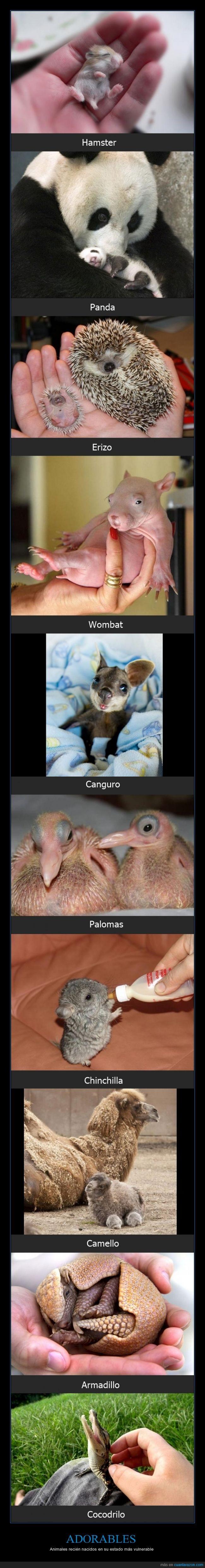 adorables,animales,Armadillo,Camello,Canguro,Chinchilla,Cocodrilo,enternecedor,Erizo,exóticos,Hamster,Palomas,Panda,recién nacidos,vulnerables,Wombat