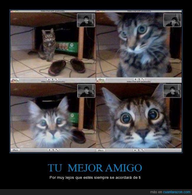 dueño,feliz,Gato,imgur,mirada,ojos,reconocer,videoconferencia