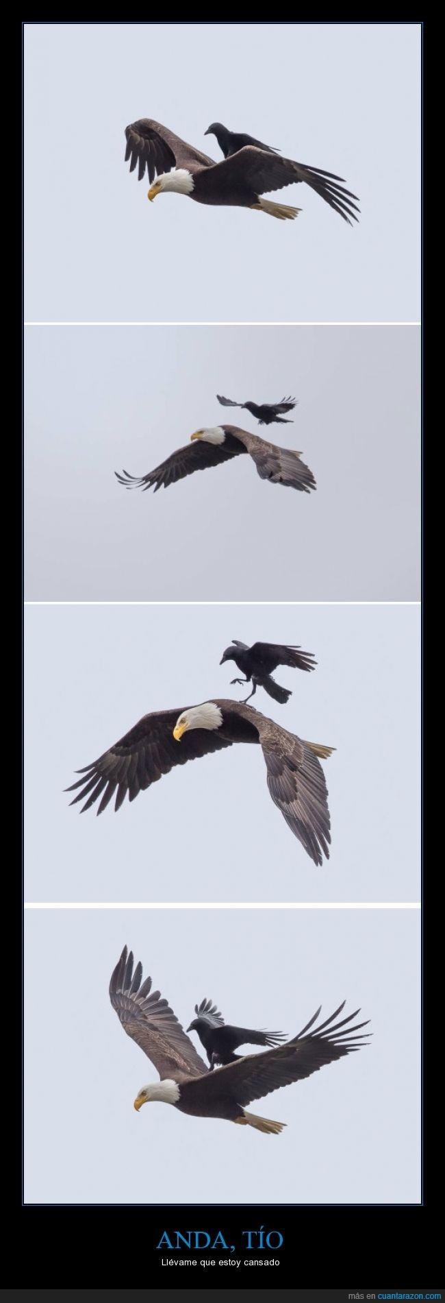 aguila,cansado,cuervo,encima,llevar,transporte público para cuervos