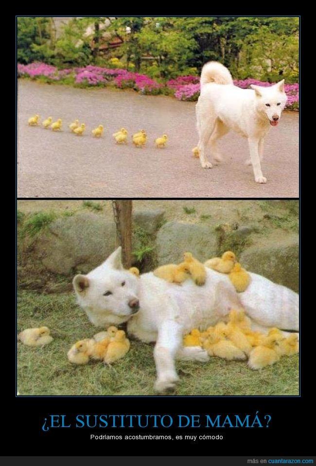 animales,comodo,madre,Mamá,nuevo,padre,patito,pato,perro,sustituto,tierno
