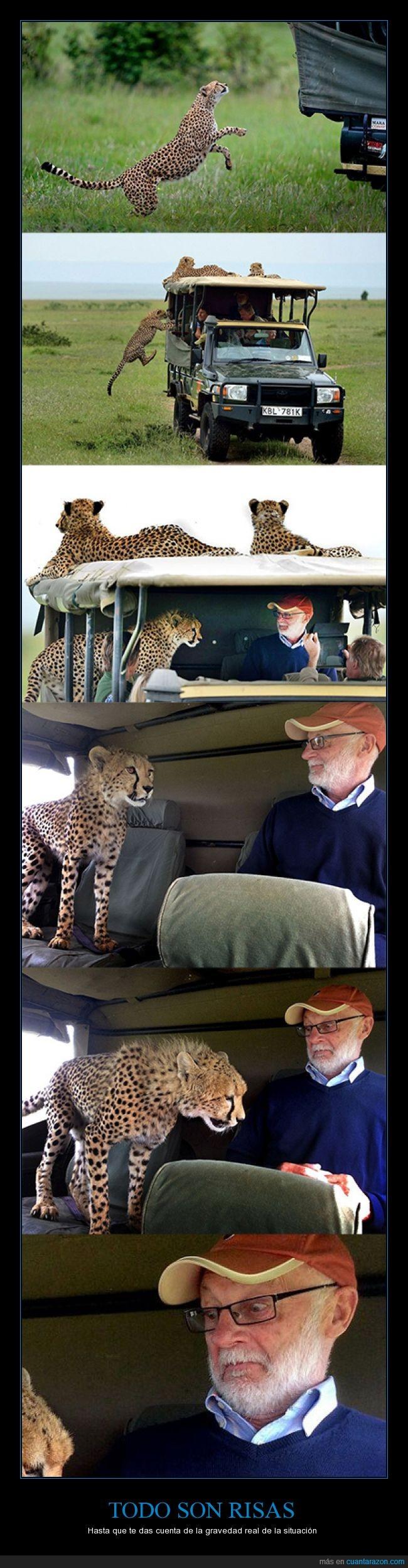 dócil,felino,guepardos,safari,sorpresa,susto