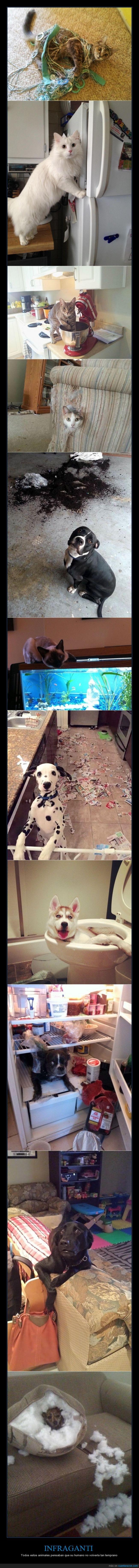 Gatos,infraganti,perros,pillar,remordimiento,romper,roto,travesura,travesuras