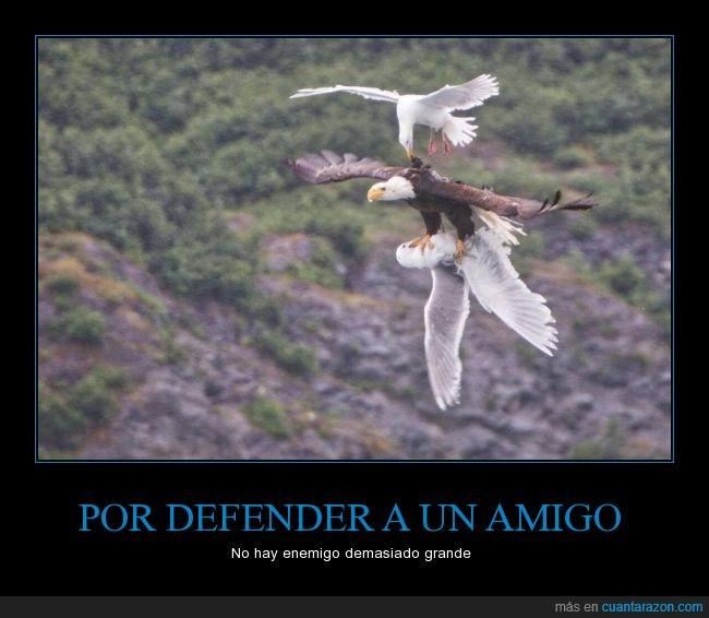 aguila,águila calva,amigo,amistad,Ataque,defender,gaviotas,pelea,salvar,vuelo