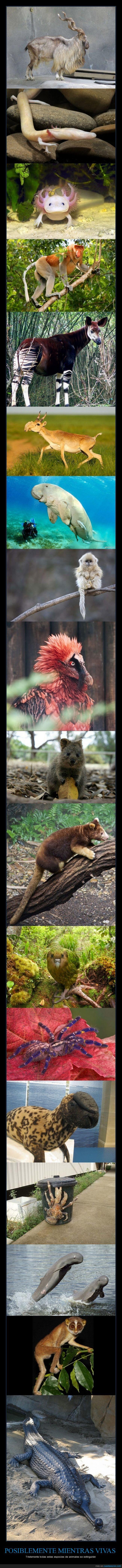 animal,buitre,canguro,cocodrilo,desaparecer,especie,extincion,extinguir,extinto,foca,okapi,oso,quokka,vida