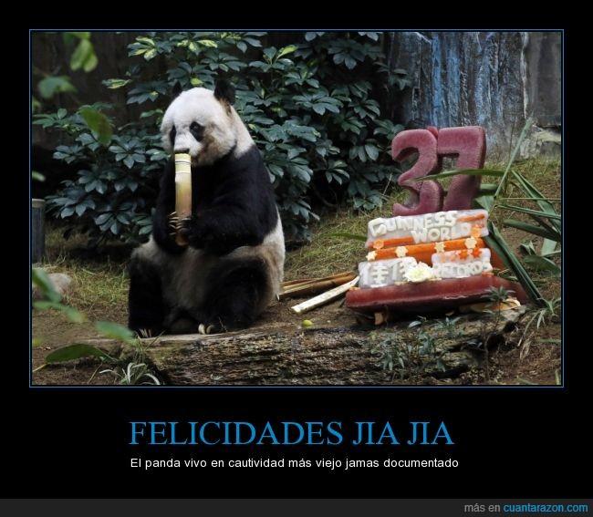 bambú,cautividad,cumpleaños,Jia Jia,Panda,pastel,tarta