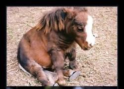 Enlace a Conoce a Thumbelina, el caballo más pequeño del mundo