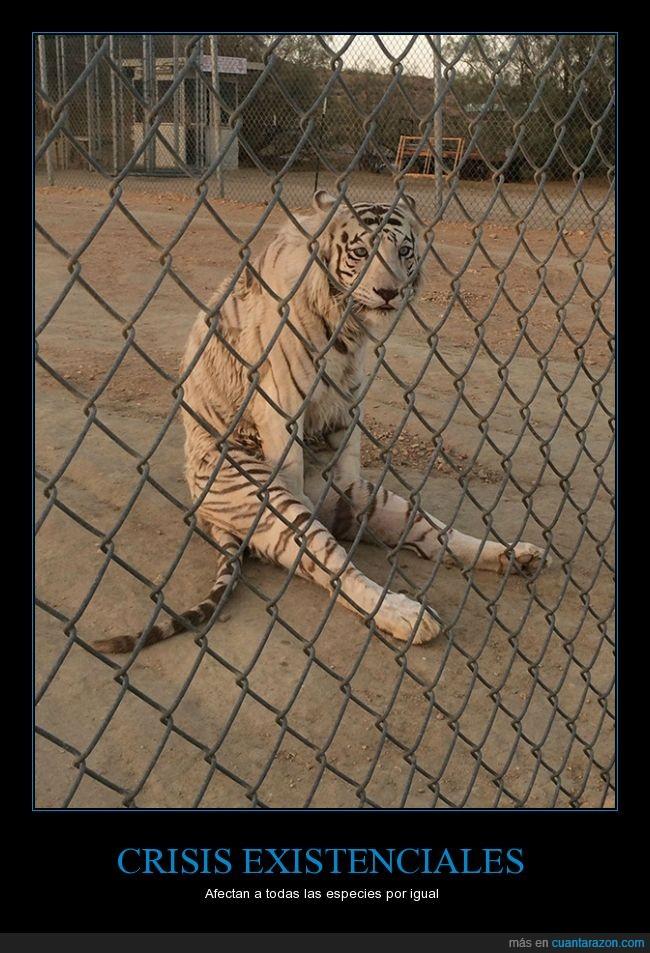 cerca,felido,felino,sentado,Tigre,valla,zoológico