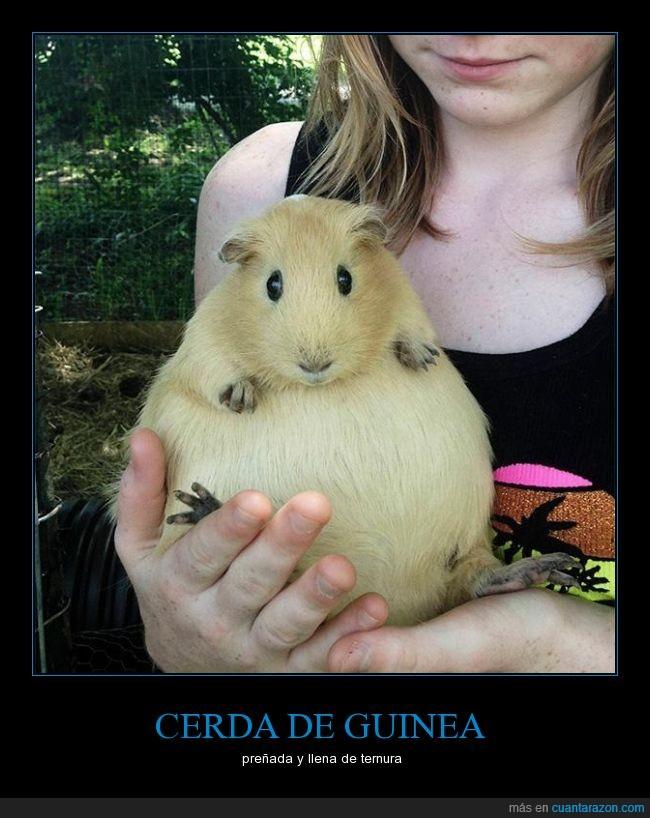Cerdo de guinea,embarazo,preñada,roedor