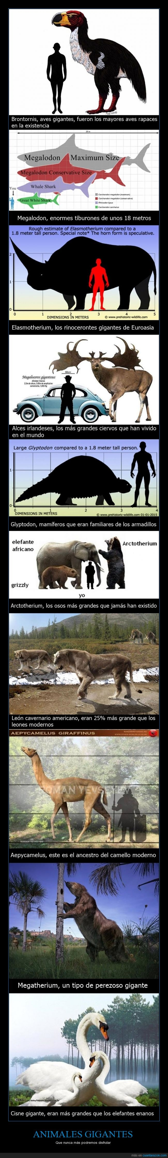 Aepycamelus,alces,animales extintos,Arctotherium,armadillos,aves rapaces,Brontornis,camello moderno,Cisne,comparación,desaparecidos,Elasmotherium,Euroasia,Glyptodon,León cavernario americano,Megalodon,Megatherium,osos,perezoso gigante,rinocerontes,tiburones