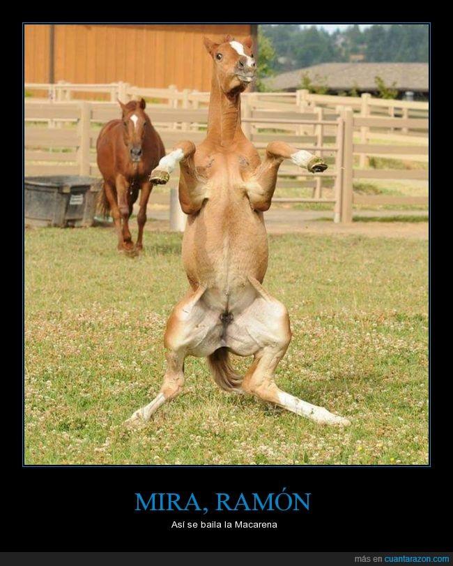 bailar,Caballo,corral,equino,Macarena,Ramon,relincho,yegua