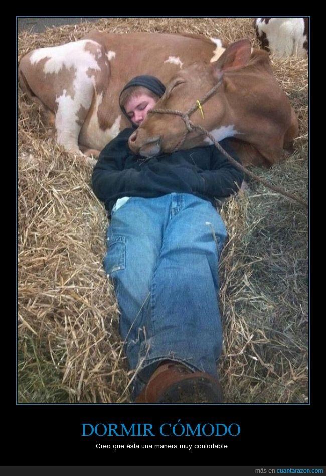 comodidad,comodo,dormir,granja,ternera,ternero,vaca