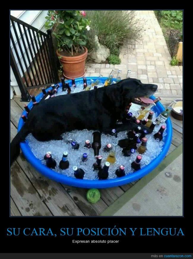 botella,botellín,calor,cerveza,comodidad,comodo,cubo,fresquito,hielo,labrador,perro
