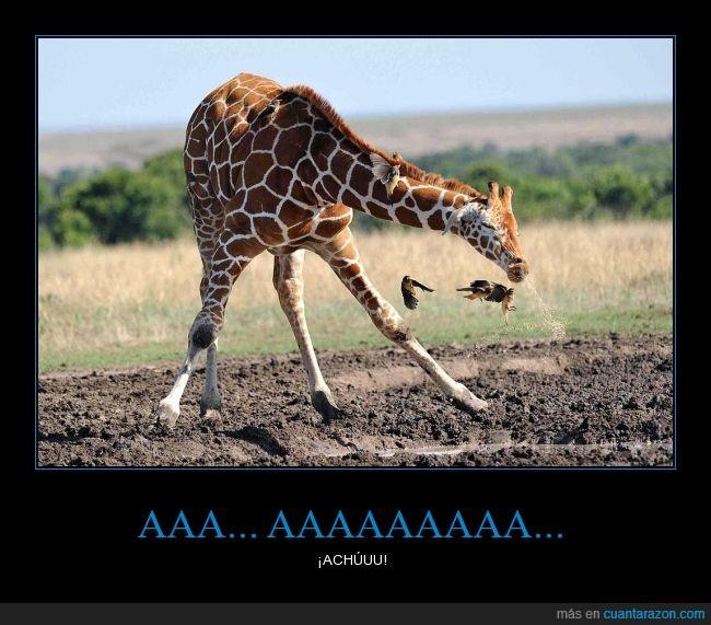 animal,curioso,estornudar,estornudo,jirafa