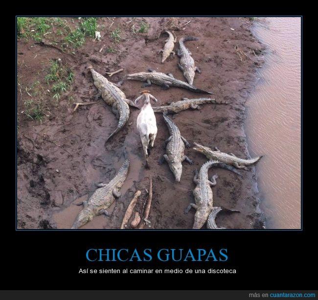 animal,animales,cabra,caiman,chicas,cocodrilo,depredador,discoteca,medio,oveja,presa