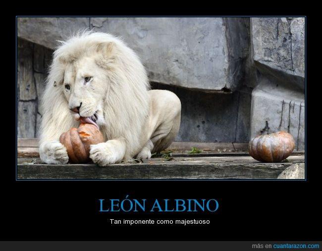 albino,bello,blanco,imponente,impresionante,leon