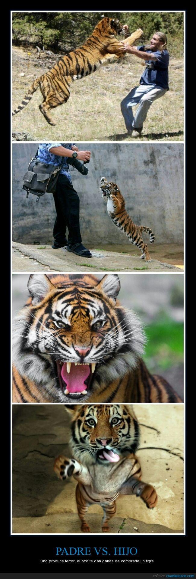 ataque,cachorro,cría,felino,hijo,padre,tigre,Tigre de Bengala