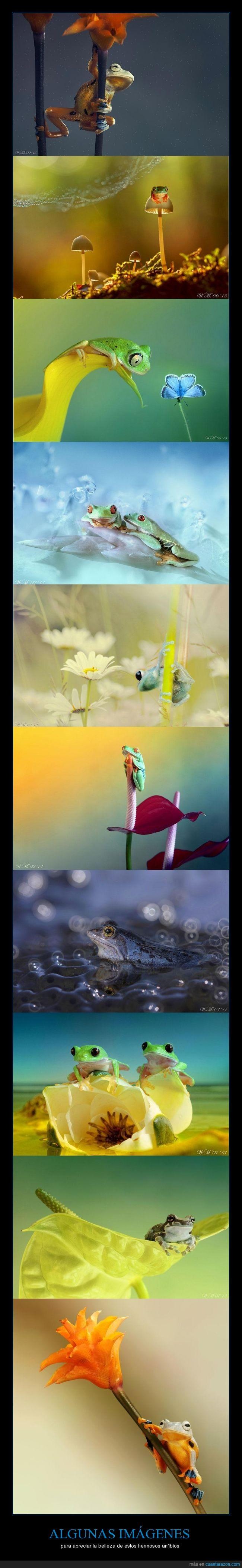 anfibio,belleza,fotografía,rana,ranas