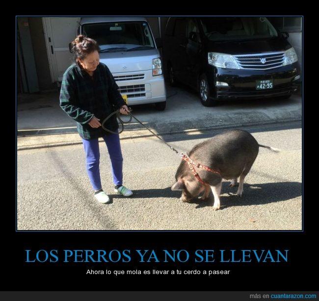 cerdo,cinta,correa,mascota,pasear,perro,señora