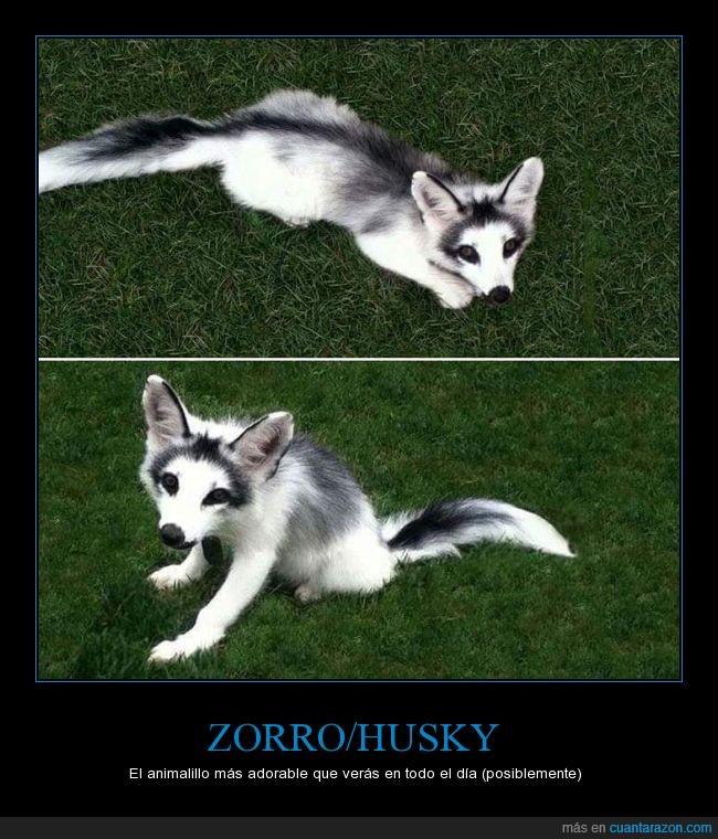 color,husky,pelo,perro,zorro