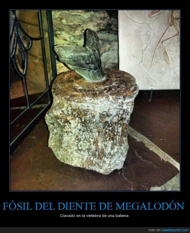 ballena,diente,fósil,megalodon,tiburón,vértebra