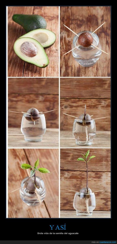 agua,aguacate,bola,hidroponia,hueso,marron,nacimiento,pelota,plantar,raiz,semilla