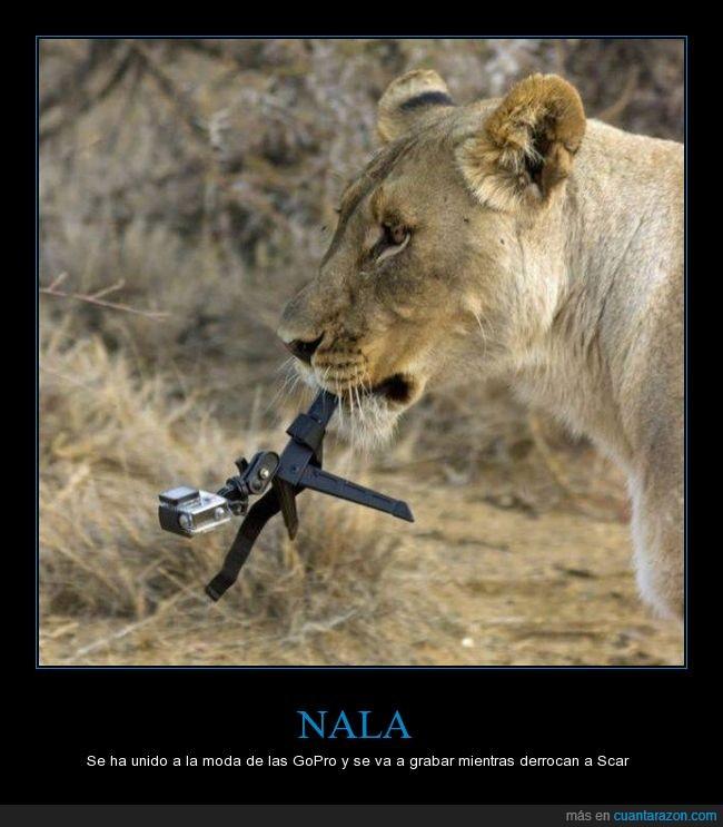 cama,comer,derrocan,derrocar,el rey leon,GoPro,Nala,robar,Scar