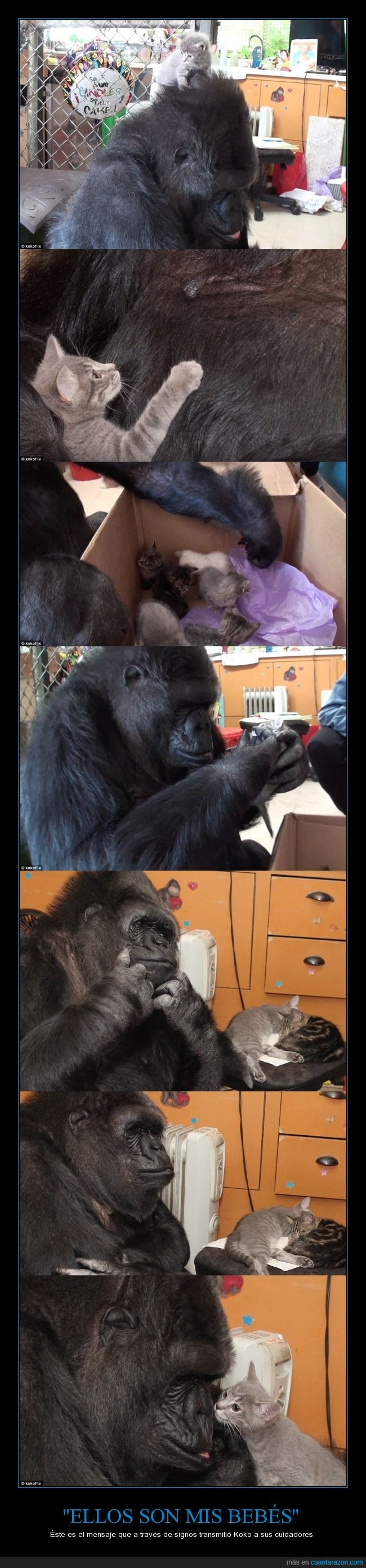 bebe,gato,gorila,hijos,Koko,madre,mensaje,transmitir