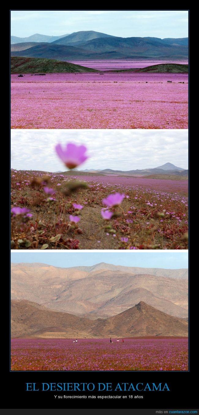atacama,chile,desierto,flores en el desierto,la lluvia hace florecer el desierto