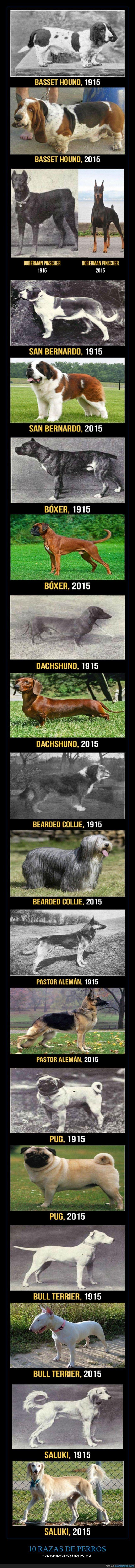 100años,bassethound,beardedcollie,biologia,bóxer,bullterrier,dachshund,doberman,evolución,historia,pastoralemán,perros,pug,razas,saluki,sanbernardo