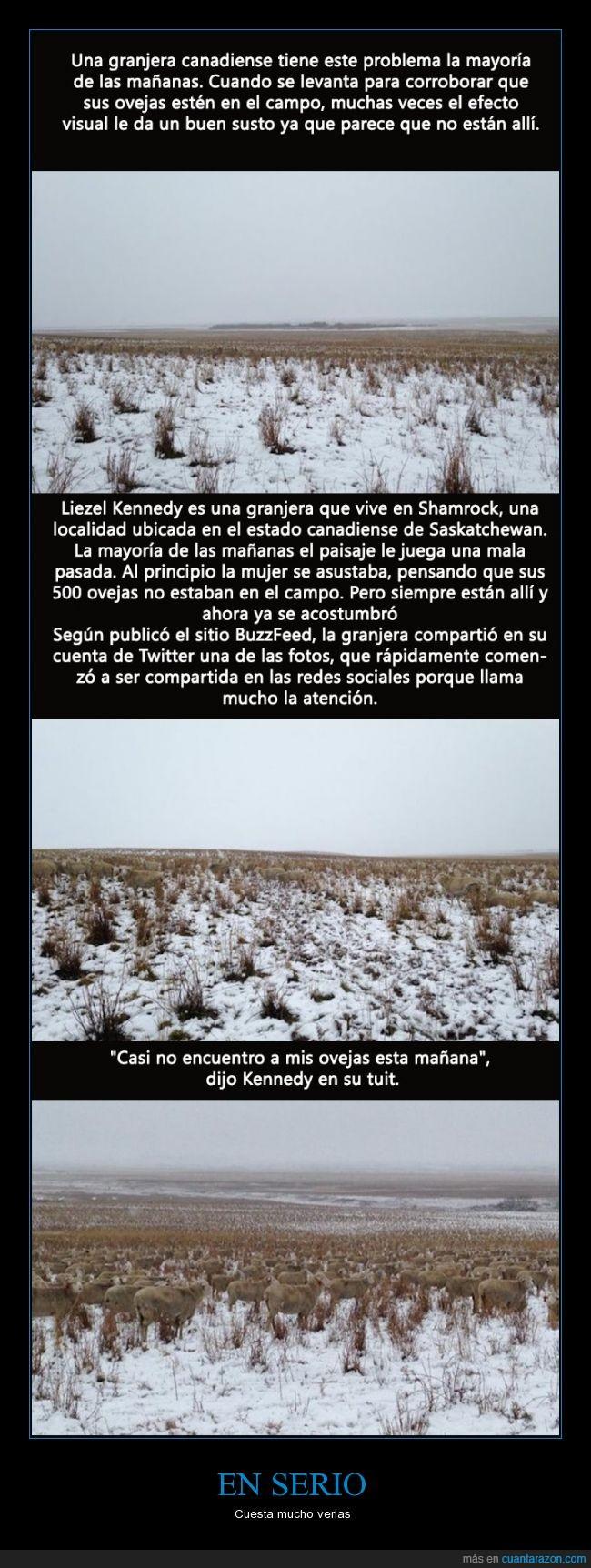 campo,camuflar,Canada,Liezel Kennedy,mirar,nevado,nieve,oveja,perder,Shamrock,ver