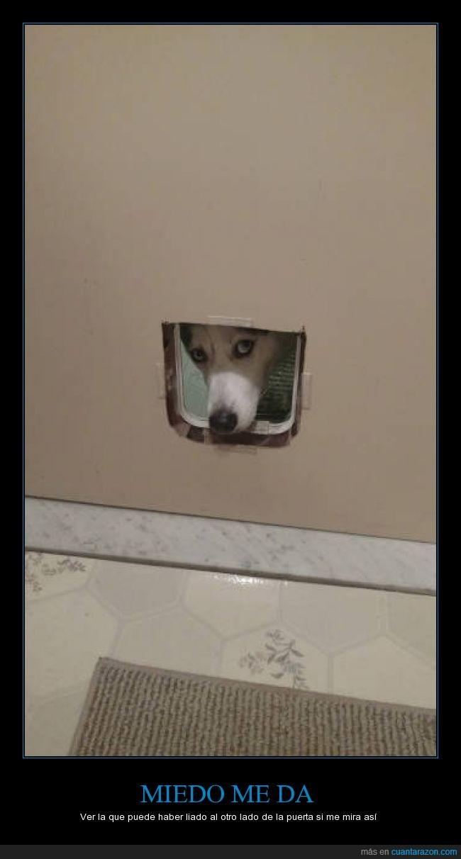 cara,culpabilidad,culpable,husky,mirada,mirar,perro,trampilla