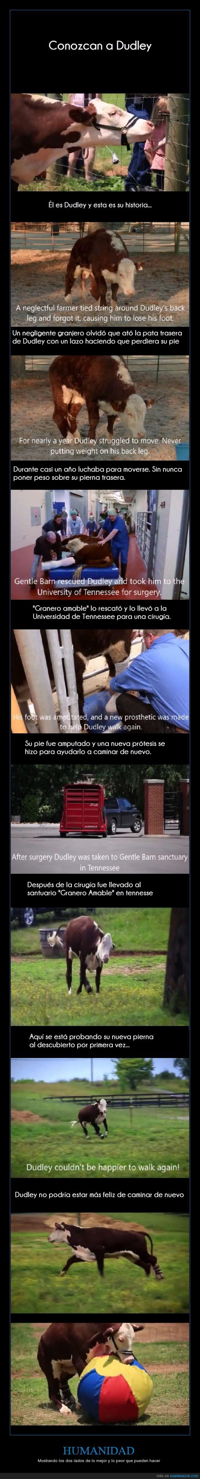 bovino,cuidar,Dudley,pata,protesis,salvar,ternera,vaca