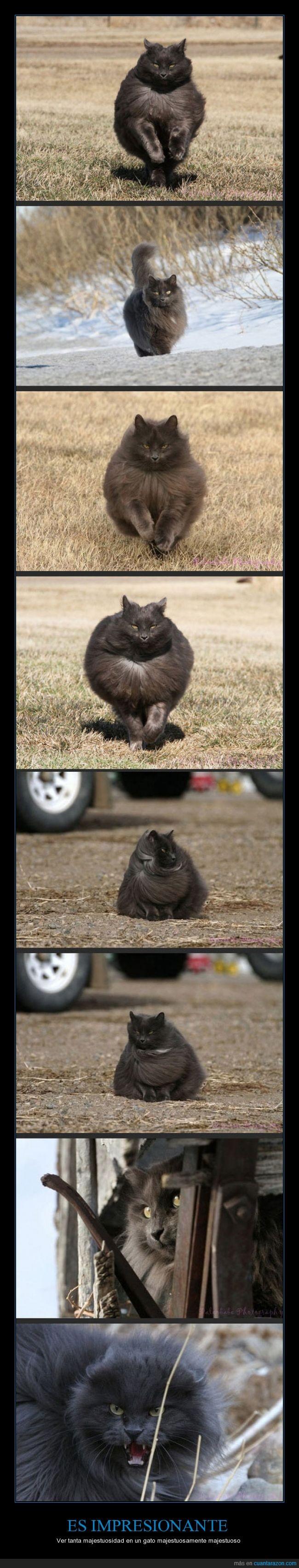 Gato,majestuoso,pelo