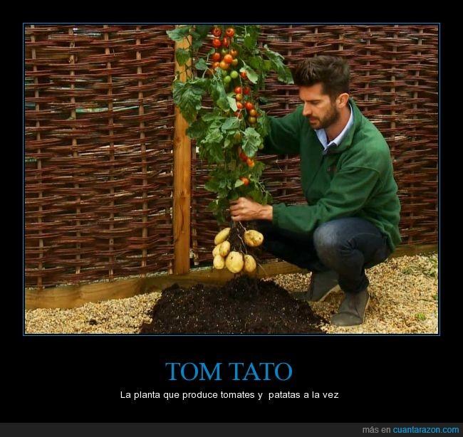 patata,simpsons,Tomaco,tomate,tomtato