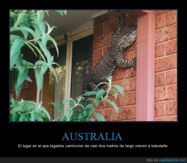 australia,carnivoro,casa,comer,gigante,lagarto,metro,pared