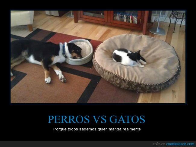 cama,dormir,espacio,gato,los gatos conquistarán el mundo y lo sabes,ocupar,perro