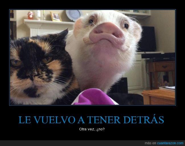 cara,cerdito,cerdo,felino,gato,mascotas,puerco,sonreir