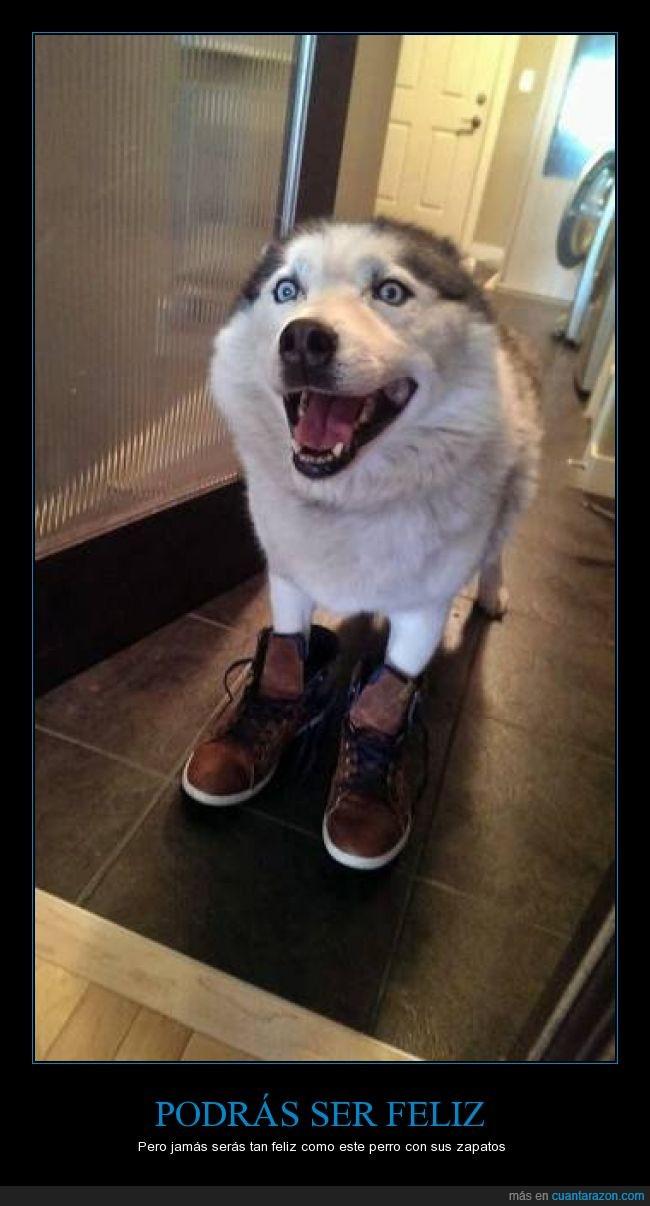 alegría,contento,feliz,husky,perro,sonrisa,zapatos