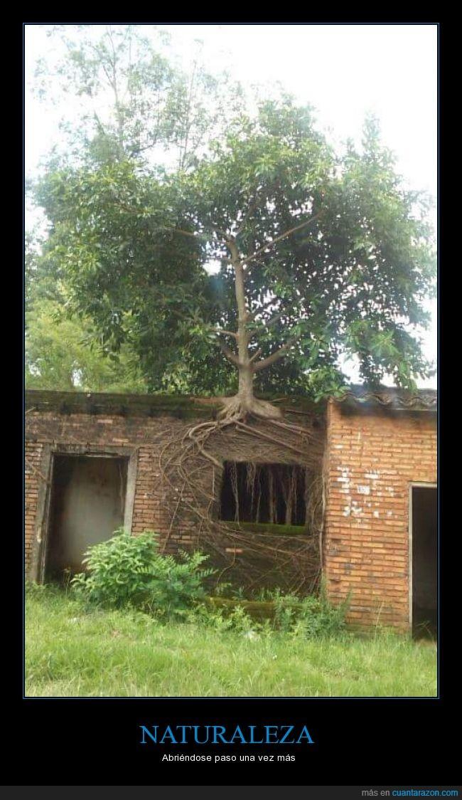 arbol,casa,crecio en la pared,naturaleza,raices