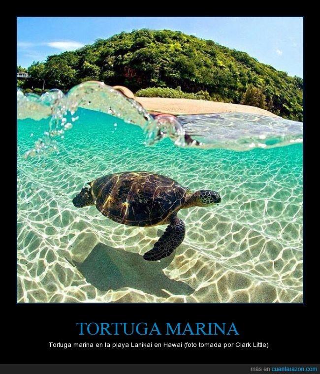 Clark Little,foto,hawaii,isla,Lanikai,playa,tortuga