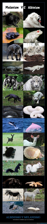 albinismo,animales,blanco,cebra,ciervo,delfin,melanismo,naturaleza,negro,serpiente,tigre,tortuga