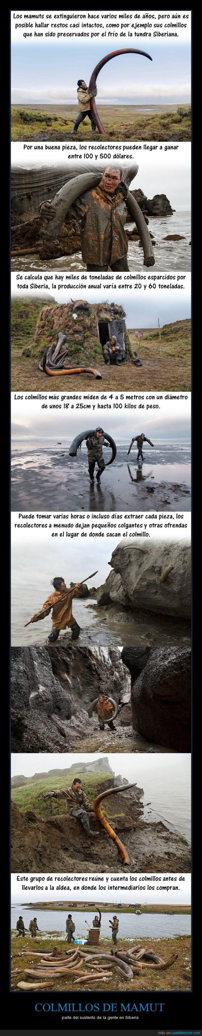 colmillo,fotografía,frío,mamut,marfil,norte,permafrost,Rusia,Sajá,Siberia,tundra