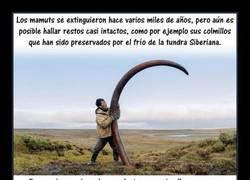 Enlace a Espectacular la historia de los colmillos de mamut