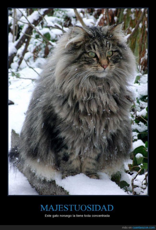 gato,genial,majestuoso,nive,noruego
