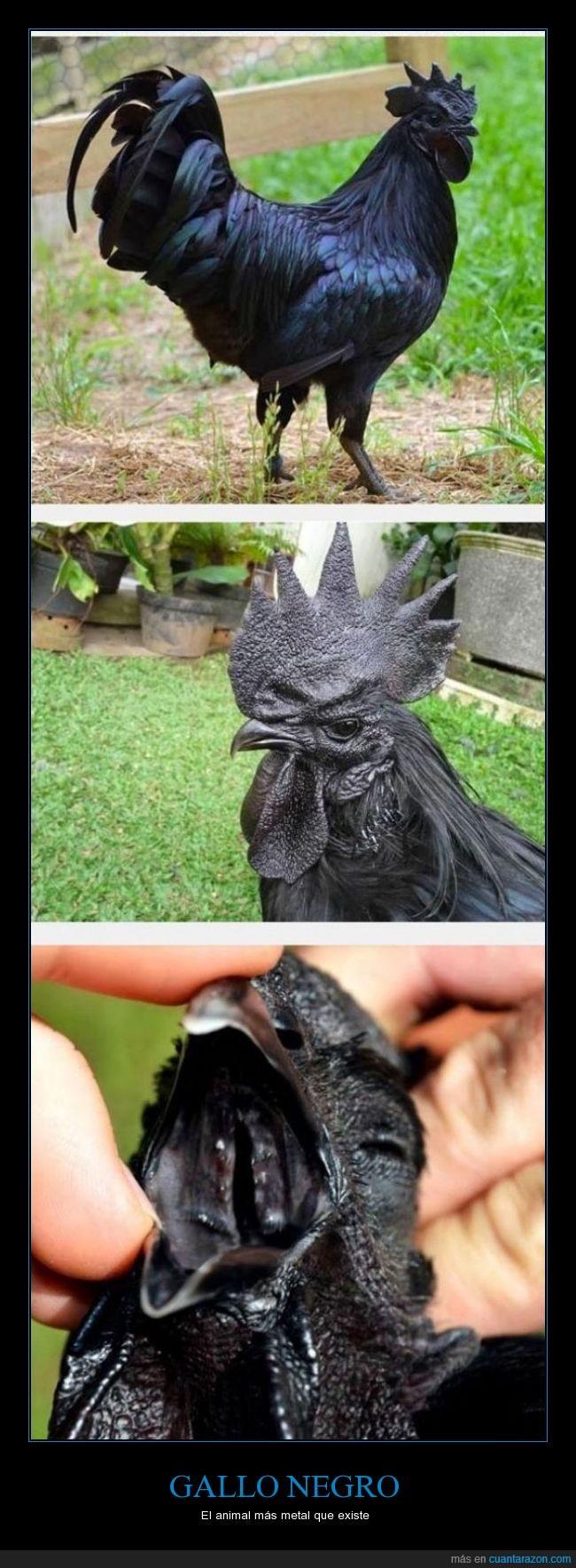 asombroso,gallo,genial,metal,negro,raro