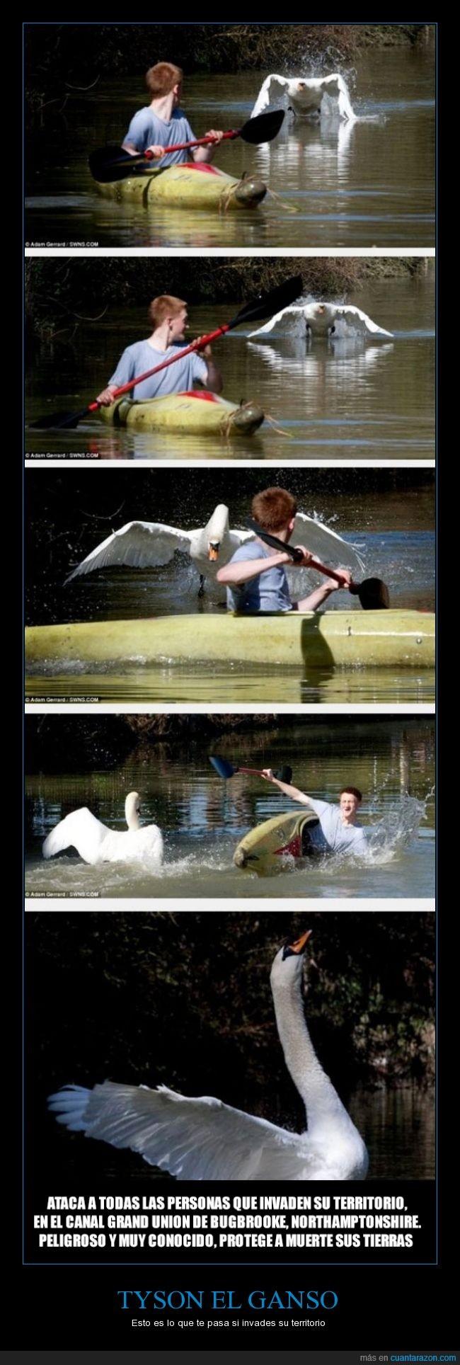 agua,bote,caer,ganso,niño,territorial,volar