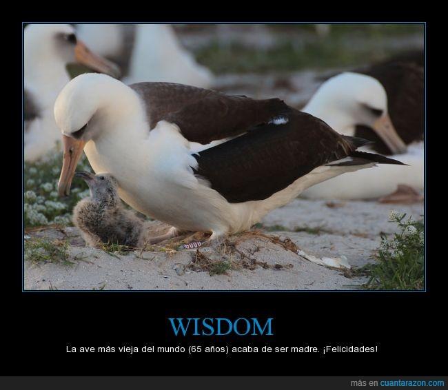 65,albatros,años,cria,edad,hijo,madre,Wisdom