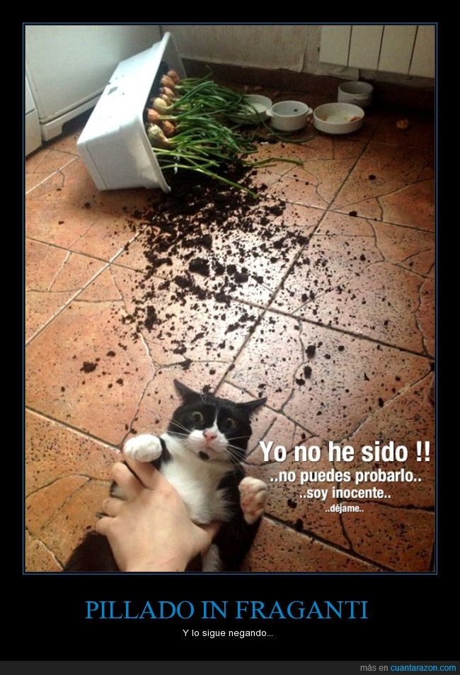 gato,maceta,pillado,pillar,tirar